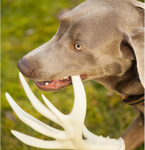 Browning Antler Chew Toy